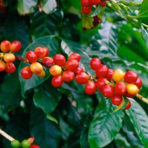 сорта кофе арабика, кофе в Минске