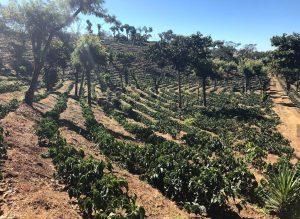 кофейная ферма, производство кофе
