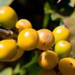 Бурбон – королевский кофе