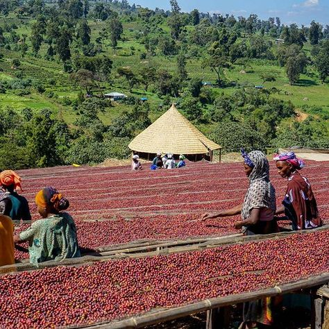 Эфиопия Иргачеффе, Эфиопия Сидамо