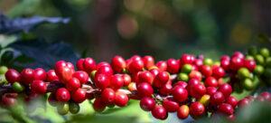 эфиопский кофе, кофе в Эфиопии, Эфиопия