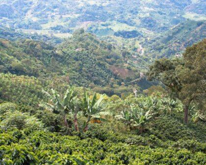 Кофе в Колумбии: особенности производства